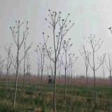 8公分臭椿价格10公分臭椿树多少钱一颗
