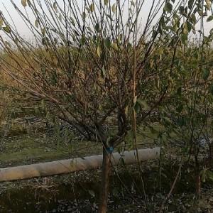 6公分红梅树价格 浙江红梅小苗批发价格