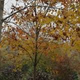 20公分枫香树价格 浙江枫香树种植基地批发