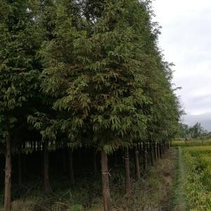 12公分水杉树苗价格 浙江水杉树苗基地批发