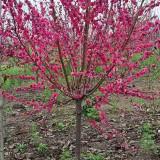 红叶碧桃树苗价格 2公分3公分红叶碧桃多少钱一棵