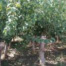5公分红梅树价格 河南红梅苗批发基地