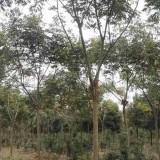 25公分栾树价格表 20公分栾树多少钱一棵