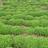 15公分红花蘸酱草价格 红花醡浆草多少钱一棵