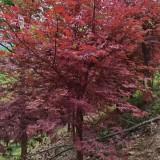 7公分红枫价格多少钱一棵 江苏红枫树苗基地