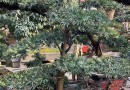 罗汉松盆景哪里有卖 基地批发罗汉松盆景价格