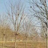 基地15公分20公分美国红枫价格多少钱一棵