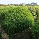 50公分海桐树价格 海桐小苗价格多少钱一株