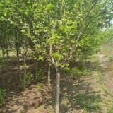 6公分西府海棠树价格 江苏西府海棠生产基地