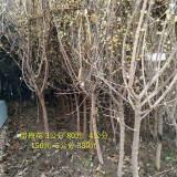 冠幅1米1.5米丛生腊梅批发价格多少钱一株