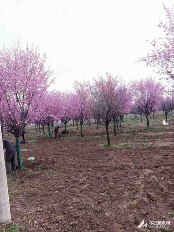 15公分樱花价格表 基地12公分樱花多少钱一棵