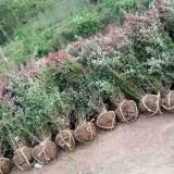 高40公分红叶小檗价格 红叶小檗苗批发