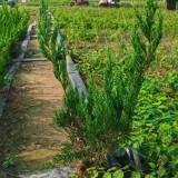 塔柏树苗哪里有卖 高60公分塔柏小苗价格
