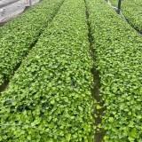 常春藤哪里有卖的 高40公分常春藤苗批发多少钱一棵