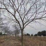 12公分朴树价格表 15公分朴树多少钱一棵