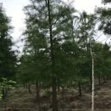 3公分池杉价格 基地4公分池杉多少钱一棵