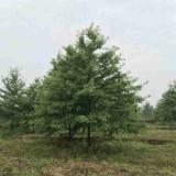 12公分娜塔栎价格 娜塔栎基地价格