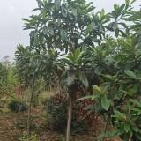 6公分枇杷树价格 基地7公分枇杷树多少钱一棵