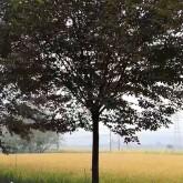 14公分榉树哪里有售  浙江榉树价格