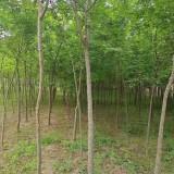 8公分皂角树价格 基地10公分皂角树价格是多少