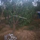 15公分山杏树价格 基地山杏树苗大量出售