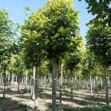 马褂木苗木种植基地 5~8~10公分马褂木价格