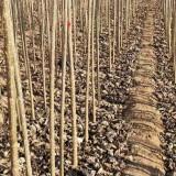 2公分杨树苗种植基地 3公分杨树价格是多少钱一棵