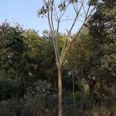 哪里有卖15公分黄山栾树  基地供应黄山栾树