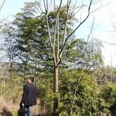 胸径15公分栾树价格 浙江黄山栾树供应