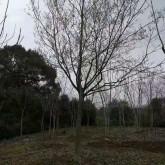 18公分朴树多少钱一棵 浙江朴树价格