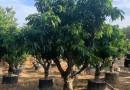 荔枝树苗多少钱一颗 福建荔枝树价格