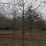 米径11公分娜塔栎价格 浙江娜塔栎基地批发