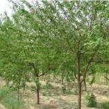 毛桃树价格 10-15公分毛桃树多少钱一棵