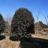 3米桂花树价格表 基地3米3.5米桂花价格