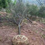 10公分13公分18公分日本红枫树价格多少钱一棵