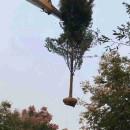 25公分朴树市场价多少 30公分朴树多少钱一棵