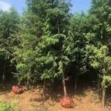 3公分水杉价格 基地4公分水杉多少钱一棵