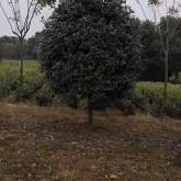 10公分红叶石楠多少钱一棵 浙江红叶石楠树价格