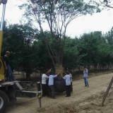 15公分朴树多少钱一棵 18-20公分朴树价格表