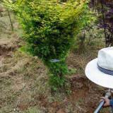 3公分日本红枫树价格 5至18公分日本红枫多少钱一棵