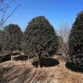 高度3米5桂花树价格多少钱一棵