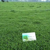 结缕草价格多少钱一个平方 中华结缕草价格
