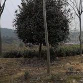 10公分红叶石楠哪里有 浙江红叶石楠供应