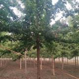 12公分青叶复叶槭价格 10~15公分青叶复叶槭多少钱