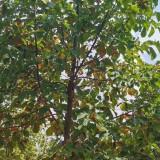 3公分玉兰树苗价格 5公分玉兰树多少钱一颗