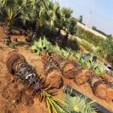 高50公分棕榈树价格 江苏棕榈树多少钱一棵