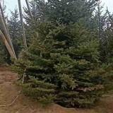 1米云杉树苗价格 基地2米云杉树多少钱一颗