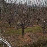 9公分红梅价格 浙江红梅树多少钱一棵
