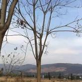 米径15公分黄山栾树价格多少钱一棵