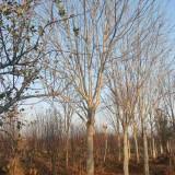 8公分七叶树价格 10至12公分七叶树上车价多少钱一棵